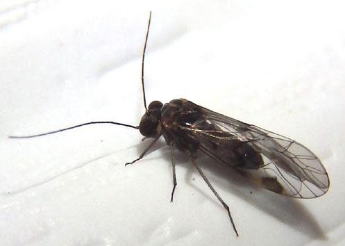 unknown barklouse - Metylophorus novaescotiae - male
