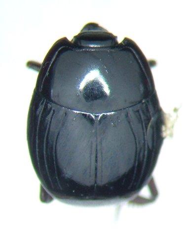 histerid 2 - Atholus nubilus