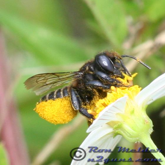 Resin Bee - Megachile pruina - female