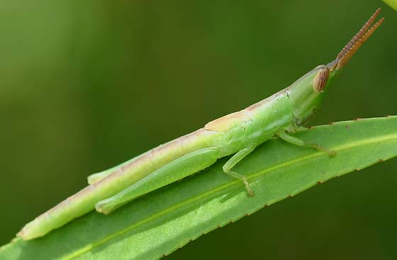 Cattail Toothpick Grasshopper - Leptysma marginicollis - female