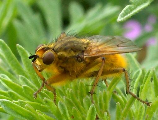 Could this be Lauxaniidae? - Scathophaga stercoraria