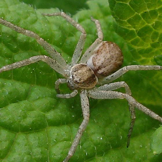 Spider - Philodromus dispar - female