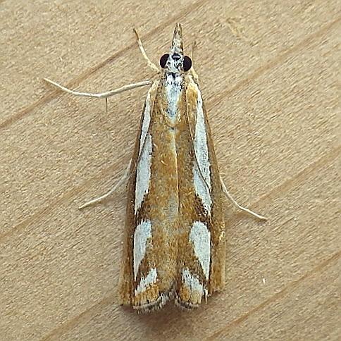 Crambidae: Catoptria latiradiellus - Catoptria latiradiellus