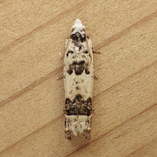 Tortricidae: Eucosma matutina - Eucosma ornatula