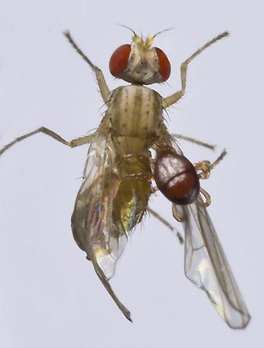 Fly attacked by mites - Scaptomyza pallida