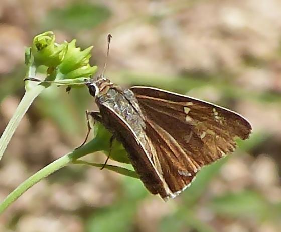 Atrytonopsis Skipper - Cogia caicus