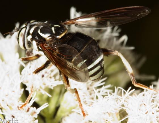 Syrphidae - Spilomyia fusca - female