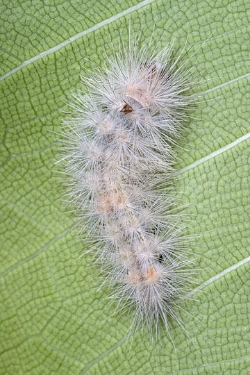 Edwards' Wasp Moth - Lymire edwardsii