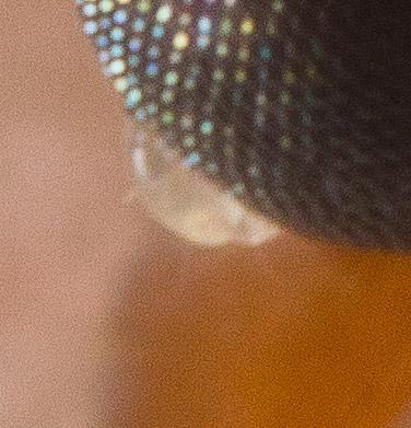 Mites on Ladybug