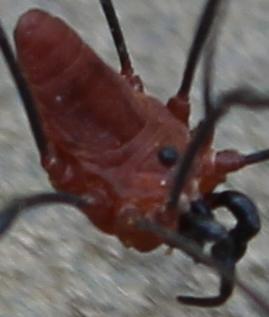 Harvestman #6  - Leiobunum calcar - male