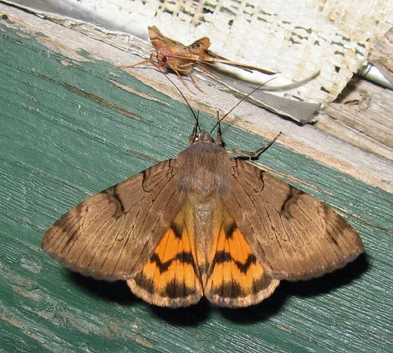 Heterocera 08 - Drasteria ochracea