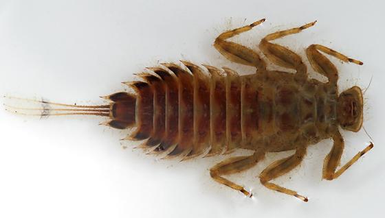 mayfly larva - Timpanoga hecuba