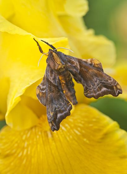 ? sphinx moth - Paonias myops