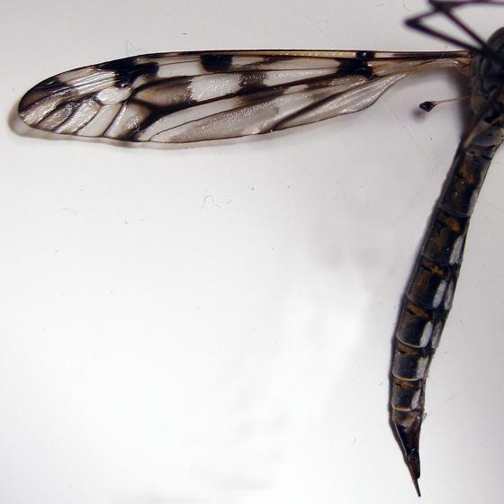Tipula trivittata - female