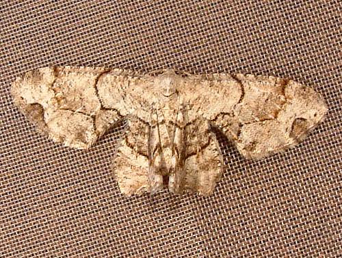 694 Callizzia amorata - Gray Scoopwing Moth 7650 - Callizzia amorata