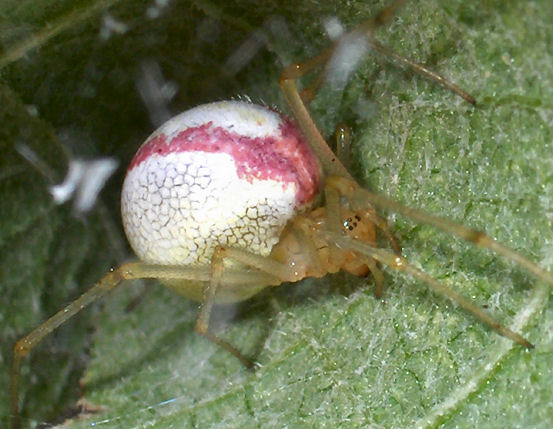 Candy Stripe Spider - Enoplognatha ovata - female