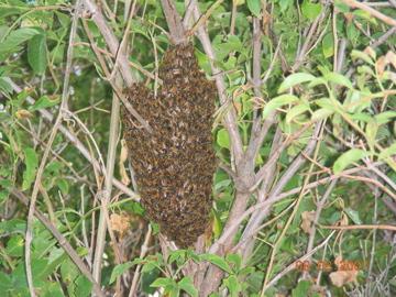 Honey Bee Swarm - Apis mellifera - male - female