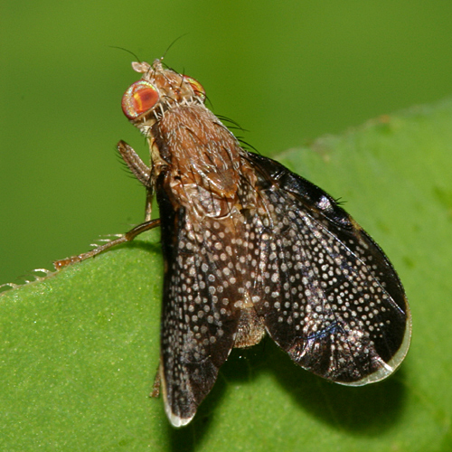 Fruit Fly - Eutreta noveboracensis