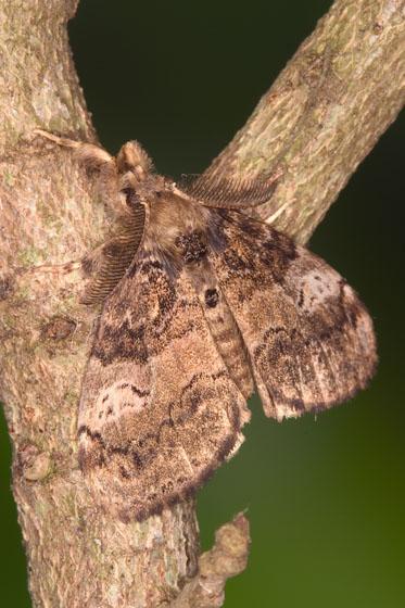 Tussock Moth - Orgyia detrita - male