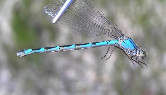 Northern Bluet (andromorph) - Enallagma annexum - female