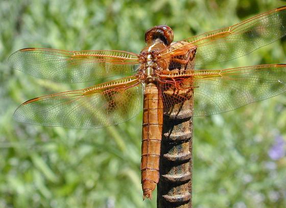 Libellula saturata - female