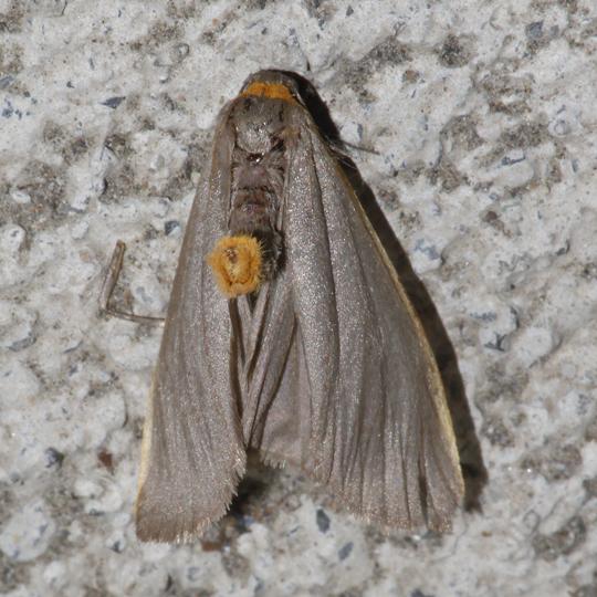 Bicolored Moth - Manulea bicolor