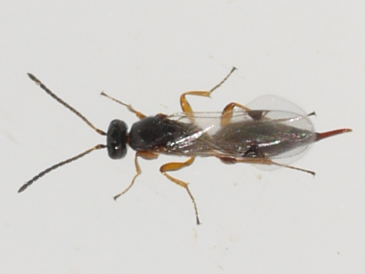 wasp - Brachyserphus - female
