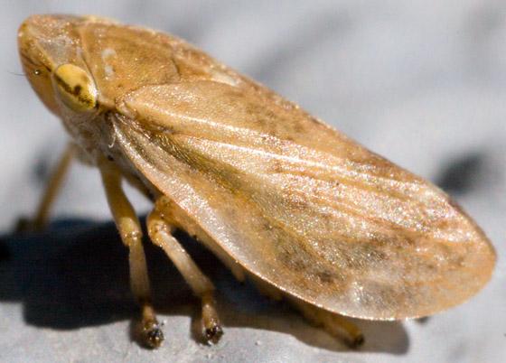 Homoptera - Philaenus spumarius