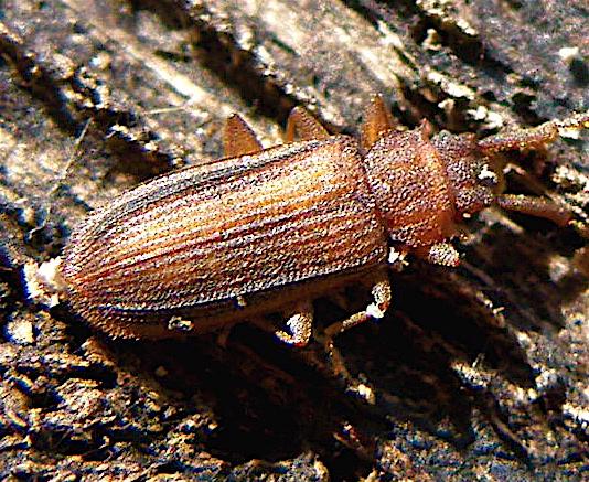 Flat Bark Beetle - Uleiota dubia - female