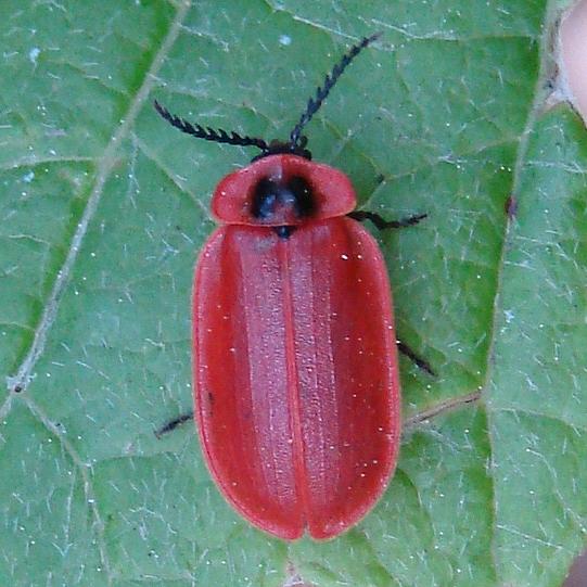 Red Beetle - Matheteus theveneti - female