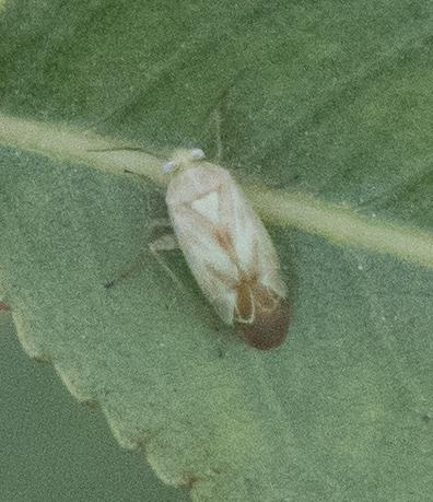 Miridae - Taylorilygus apicalis