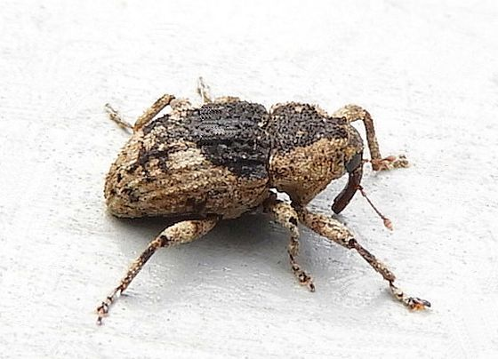 Pennsylvania Weevil for ID - Cophes fallax