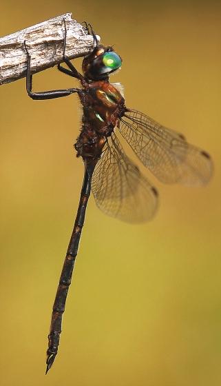 Incurvate Emerald, lateral view - Somatochlora incurvata - male