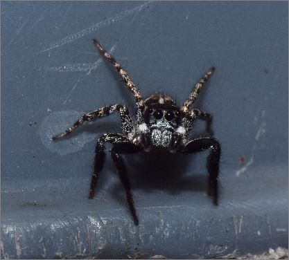 Twinflagged Jumping Spider? - Anasaitis canosa