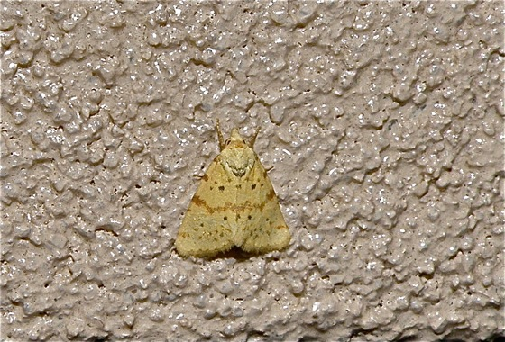 Yellow Moth - Azenia implora