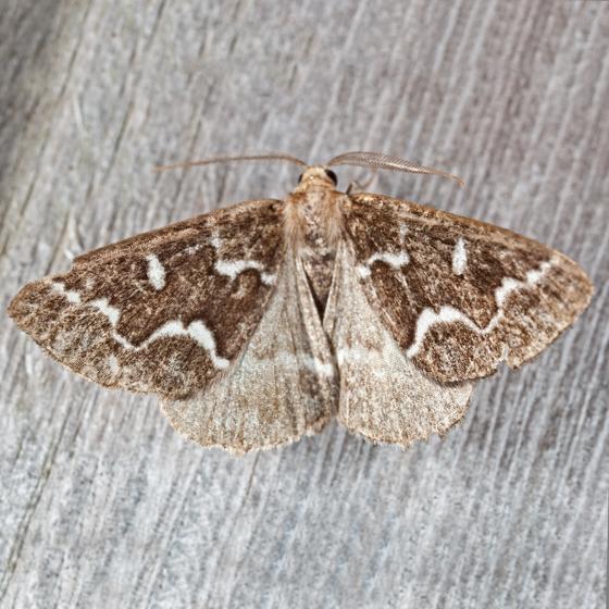 Gray Spruce Looper Moth - Caripeta divisata