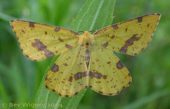 Xanthotype urticaria (Geometridae) - Xanthotype - female
