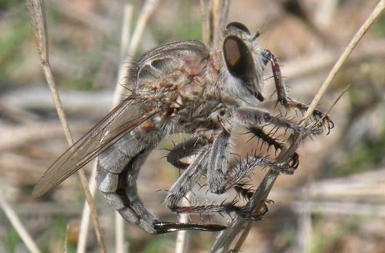 Efferia Robber Fly - Efferia - female
