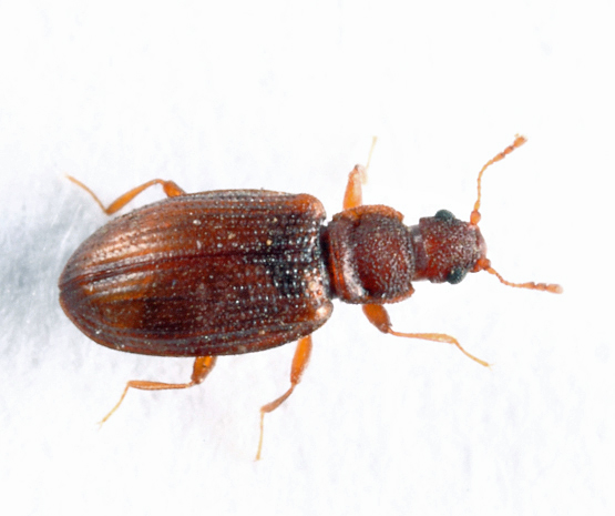 small beetle - Enicmus histrio
