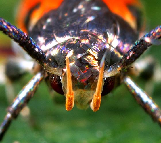 Moth ID - Euclemensia bassettella