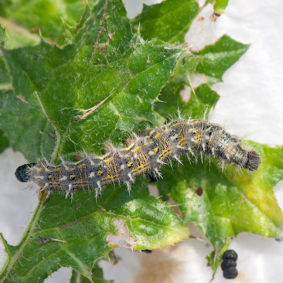 painted lady butterfly caterpillar - photo #45