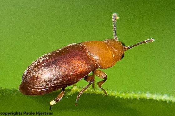 4316 Tiny Brown Beetle - Antherophagus ochraceus