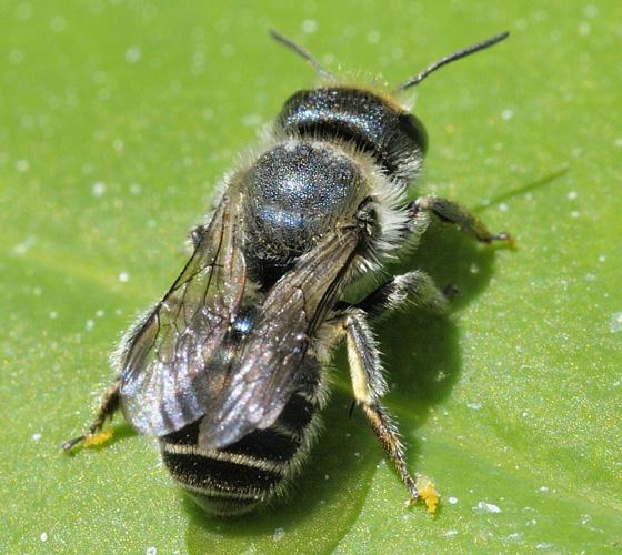 Osmia Bee ? (1) - Osmia caerulescens - female