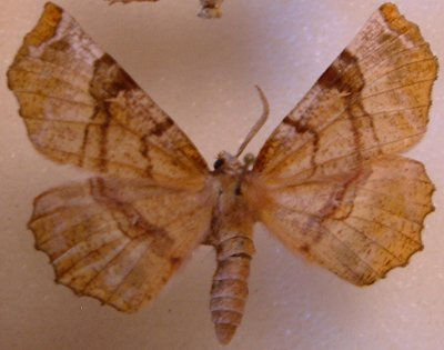 Moth - Selenia kentaria