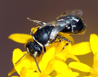 Tiny black and white bee on goldenrod - Hylaeus