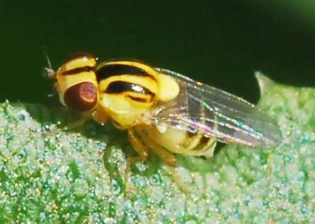 Frit Fly - Thaumatomyia