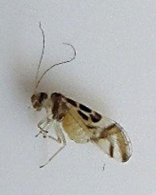 Psocodea? - Graphopsocus cruciatus