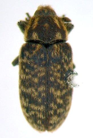 Thistle weevil - Rhinocyllus conicus