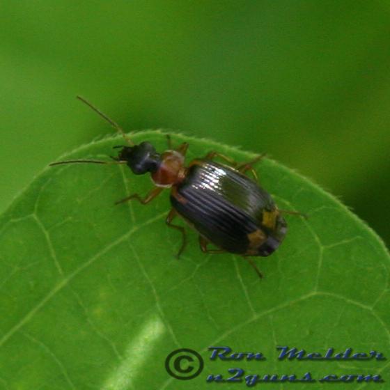 Colorful Foliage Ground Beetle - Lebia analis