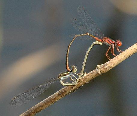 Cherry Bluet - Enallagma concisum - male - female